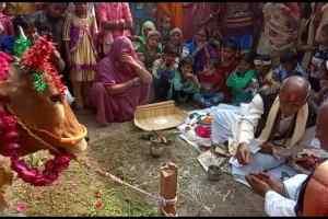 अमेठी में गोवंश प्रेमी ने दिखाया समाज को आईना,गाय का बछड़ा पैदा होने पर मनाया जश्न