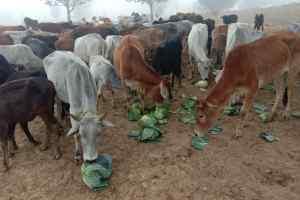 300 से अधिक गायों की मौत, मचा हड़कंप